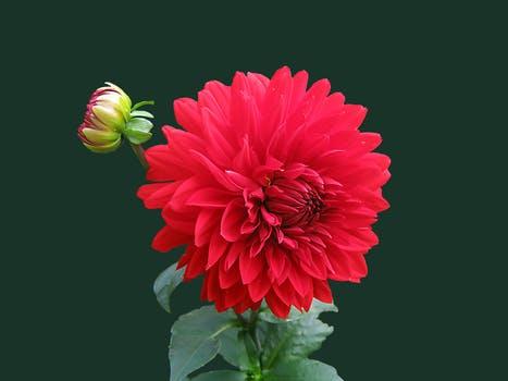 dahlia-red-blossom-bloom-60597